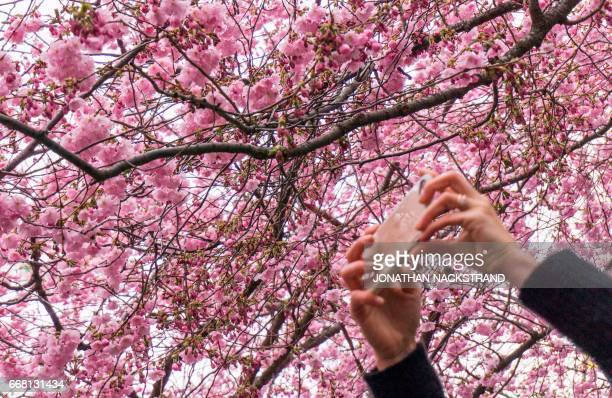 A woman takes pictures of cherry trees in full blossom at Kungstradgarden in central Stockholm on April 13 2017 / AFP PHOTO / Jonathan NACKSTRAND