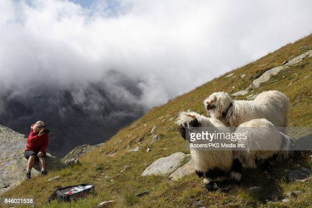 Woman takes smart phone pic of sheep in mountain meadow