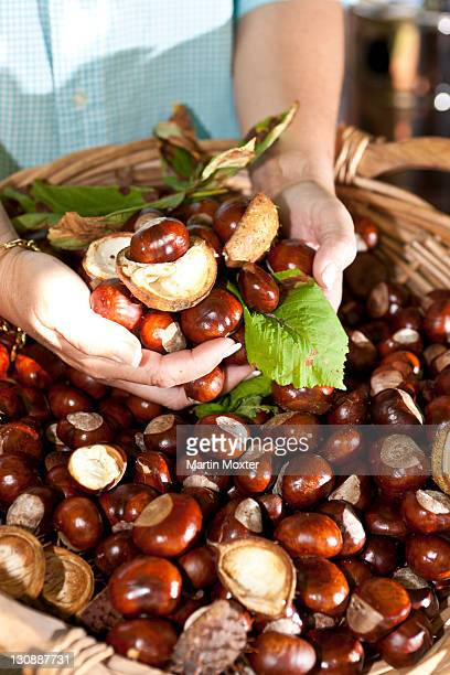 Woman taking Horse Chestnuts or Conkers (Aesculus hippocastanum) in her hands from a wicker basket