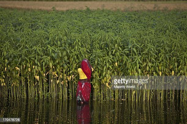 A woman tends to jute plants in Northern Bangladesh Eighty percent of the world's high quality jute grows in Bangladesh Jute is used in making cloth...