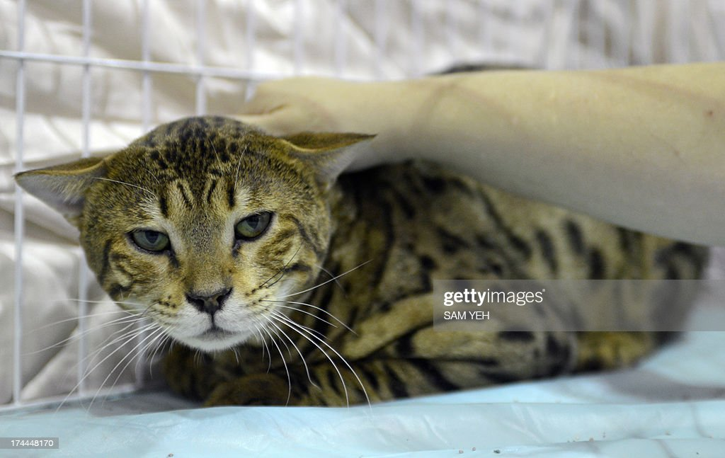 A woman touches a rare Savannah cat from the US during the annual pet show at the World Trade Center in Nankang district, Taipei on July 26, 2013. More than 150 booths for dogs and cats have been set up for the exhibition which takes place from July 26-29. AFP PHOTO / Sam Yeh