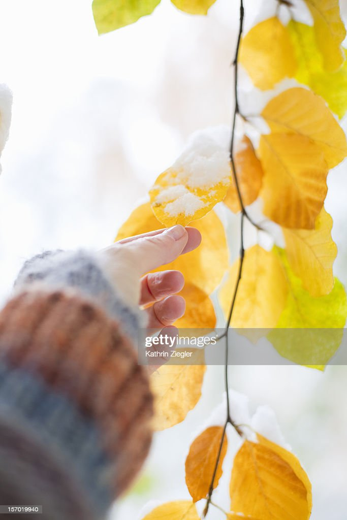 woman touching autumnal leaf covered with snow : Stock Photo