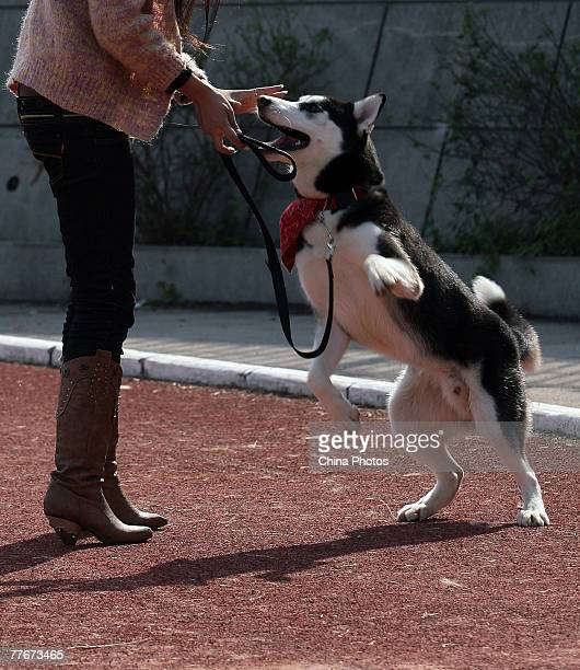 A woman trains a siberian husky during the 2007 China AllBreed Dog Show and Training Contest on November 3 2007 in Nanjing of Jiangsu Province China...