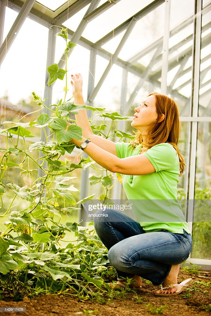 Woman tying cucumbers in greenhouse : Stock Photo