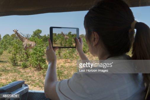 Woman using digital tablet to photograph giraffe from safari truck, Kasane, Chobe National Park, Botswana, Africa