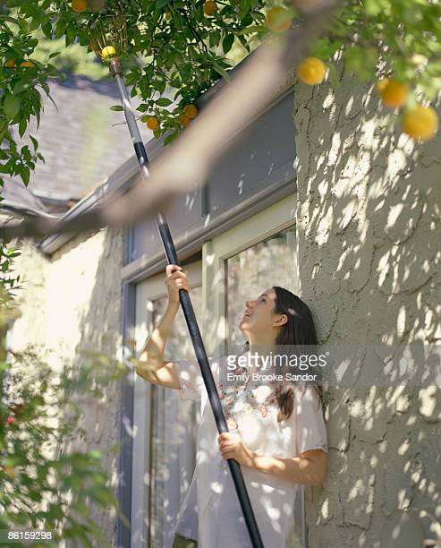Woman using fruit picker to get oranges from tree