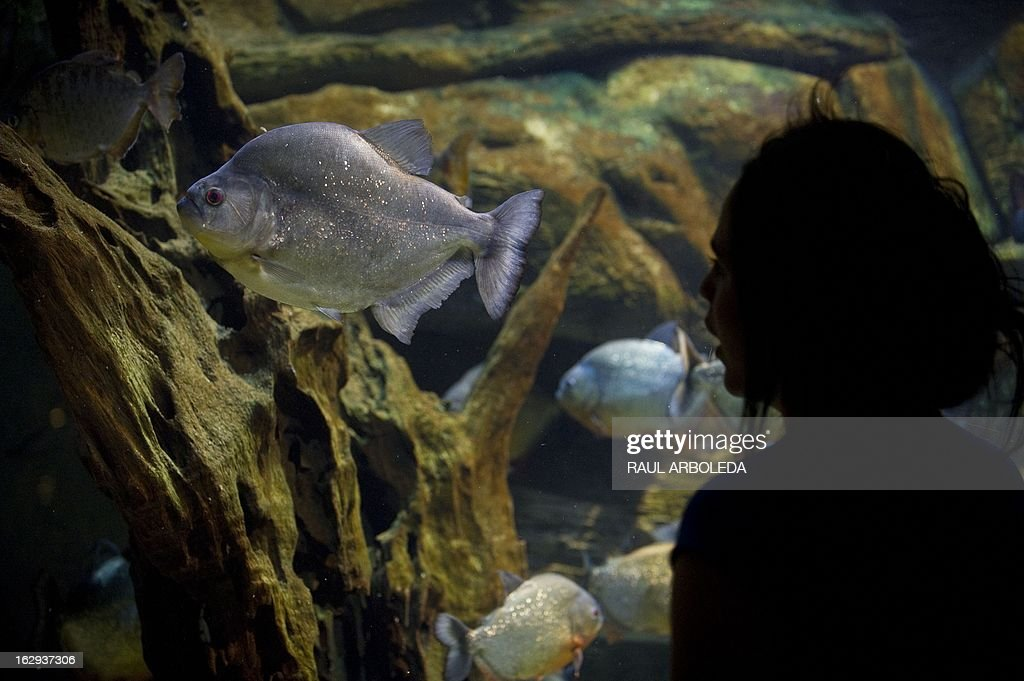 """A woman visits the aquarium of Explora Park in Medellin, Antioquia department, Colombia on March 1, 2013. Medellin, which competed with New York and Tel Aviv, was chosen by popular vote through the internet, as the """"Innovative City of the Year"""" during the City of the Year contest, organized by The Wall Street Journal and Citigroup. The distinction was basically made for its modern transportation system, its public library, escalators built in a shantytown and schools that have allowed the integration of society. AFP PHOTO/Raul ARBOLEDA"""
