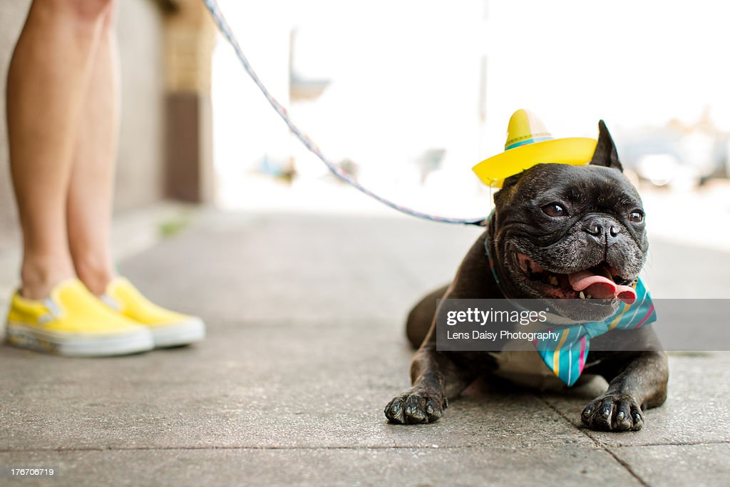 Woman walking Boston Terrier on leash : Stock Photo