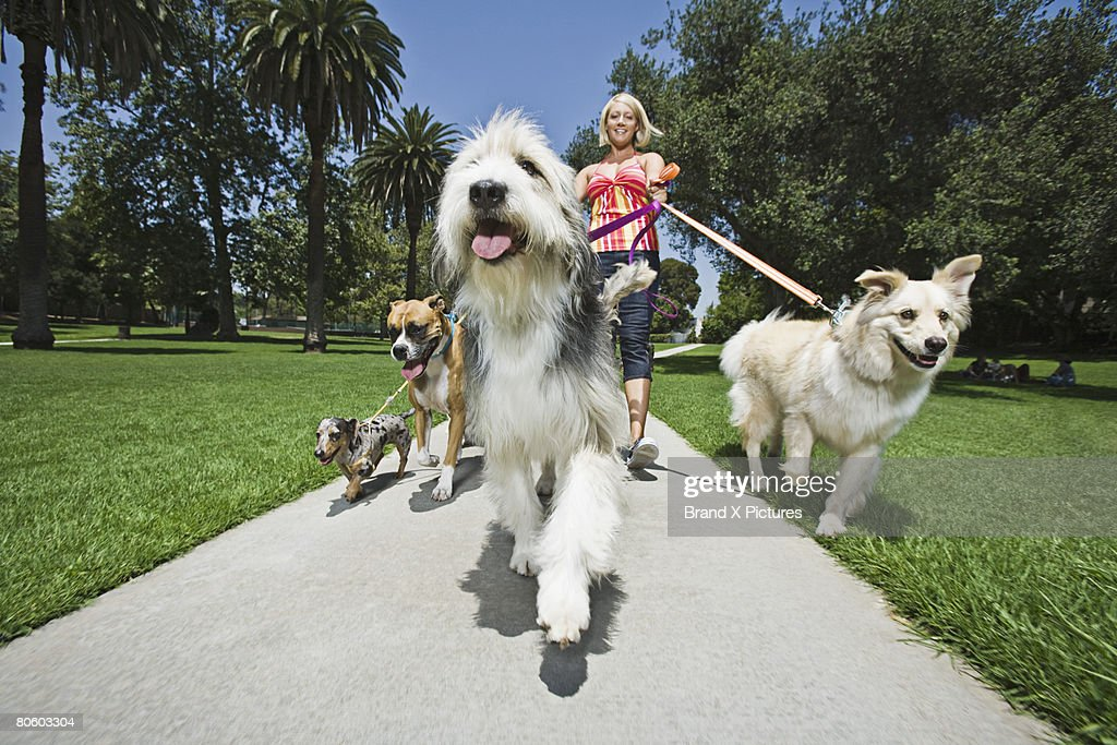 Woman walking several dogs : Stock Photo