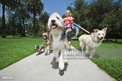 Woman walking several dogs : Bildbanksbilder