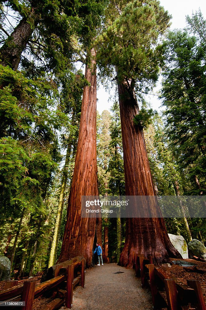 A woman walking through Giant Sequoias
