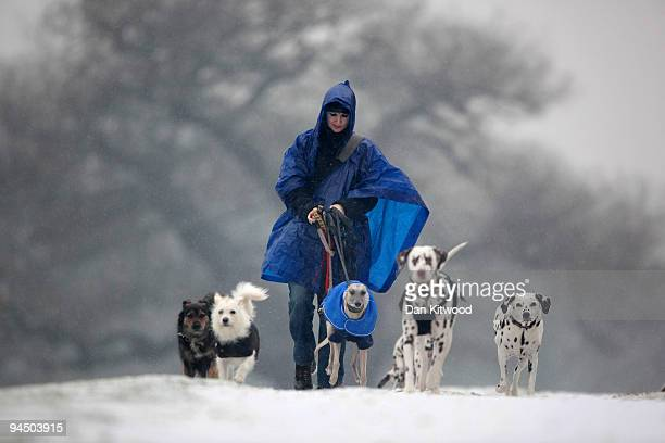 A woman walks her dogs through the snow in Richmond Park on December 16 2009 in London England A cold weather front is due to bring snow to parts of...