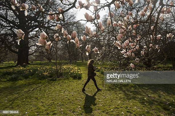 A woman walks past a Magnolia tree in bloom at the Royal Botanic Gardens at Kew in London on April 6 2015 as England basks in higher than expected...