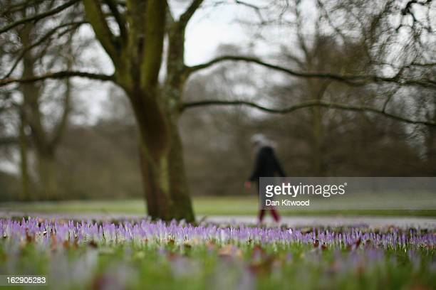 A woman walks past Crocuses at Kew Gardens on March 1 2013 in Kew England Today marks the first day of Spring though the Met Office have said that...