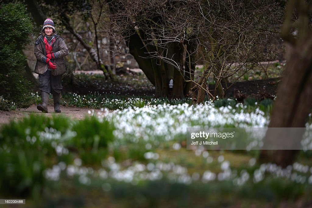 A woman walks past snowdrops coming into bloom in the grounds of Cambo House on February 20, 2013 in St Andrews, Scotland. The estate is open daily for visitors to enjoy the woodland walks and to view over 300 varieties of snowdrops.