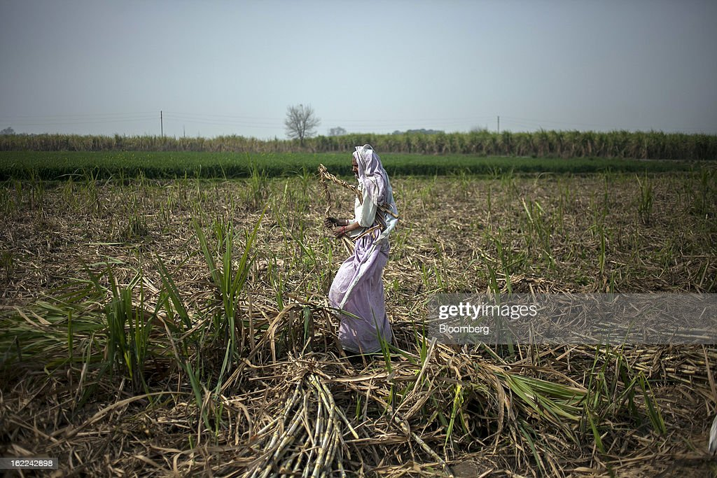 A woman walks through a harvested sugar cane field in the outskirts of Modinagar, Uttar Pradesh, India, on Tuesday, Feb. 19, 2013. Mills in Uttar Pradesh state, set to be India's largest sugar producer in 2012-2013, may continue cane crushing until April 30, Uttar Pradesh Sugar Mills Association President C.B. Patodia said in a phone interview. Photographer: Prashanth Vishwanathan/Bloomberg via Getty Images