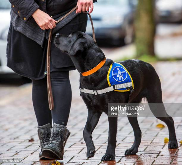 A woman walks with 'Joke' a guide dog in the streets of Roncq northern France on December 17 2014 Puppies from a farm located in Lezoux French...