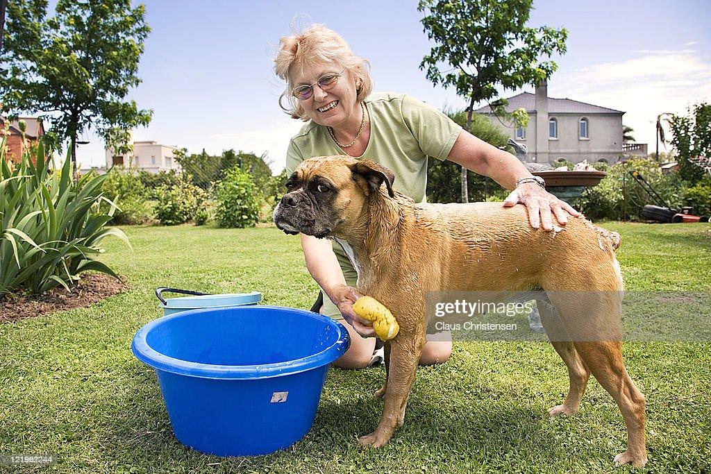 woman washing her boxer dog : Stock Photo