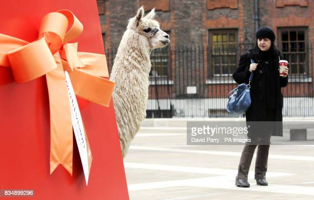 A woman watches as Henry the Llama emerges from a giant gift box in Paternoster Square London for the launch of World Vision Must Have Gifts