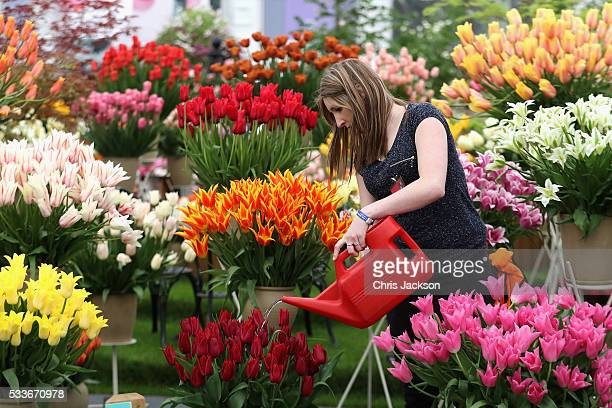 A woman waters tulips at RHS Chelsea Flower Show on May 23 2016 in London England