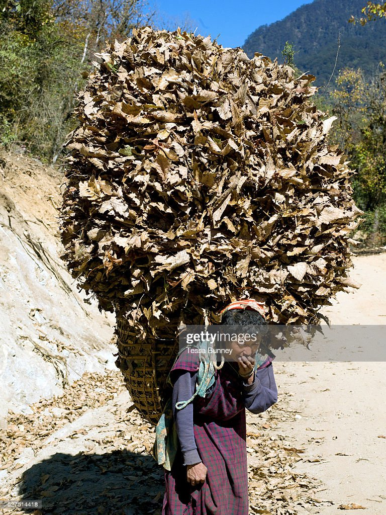 A woman wearing a kira the Bhutanese national dress carries a large load of dried leaves to use as animal bedding Daimji village Western Bhutan The...
