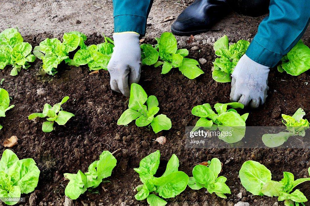 Woman weeds lettuce in her garden : Stock Photo