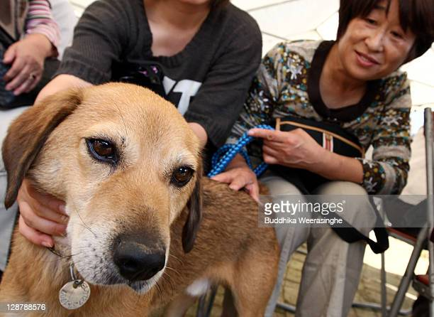 A woman who was evacuated from Fukushima spends the day with her pet dog Maro for the first time after the Fukushima Nuclear Power Plant disaster of...