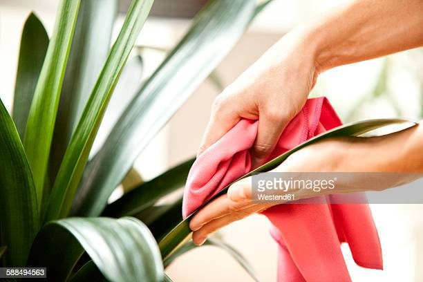 Woman wiping leaves of a plant