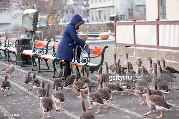 A Woman with a group of Greylag Geese, Reykjavik, Iceland