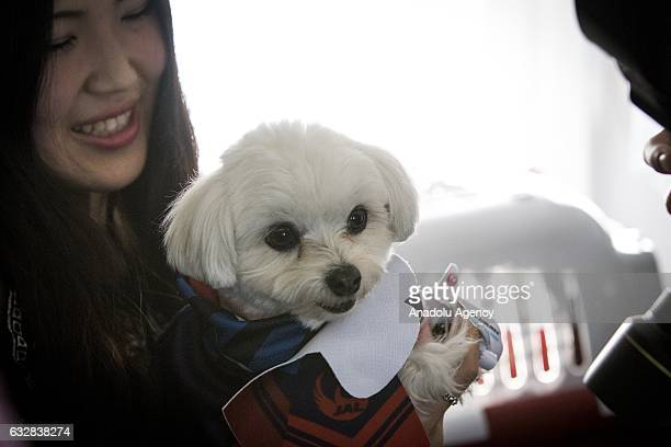 A woman with her dog waits for their flight at the airport in Chiba Japan on January 27 2017 Japan Airlines 'wan wan jet tour' allows owners and...