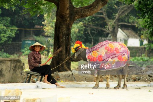 A woman worked with an colorful covered Ox : Stock Photo