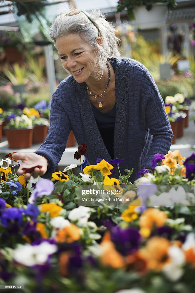 A woman working tending flowering plants on a workbench in a bin a glass house. : Stock Photo