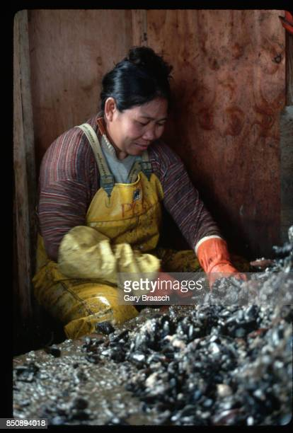 A woman works in a floating shack cleaning and sorting commercially grown mussels destined for restaurants | Location Washington USA