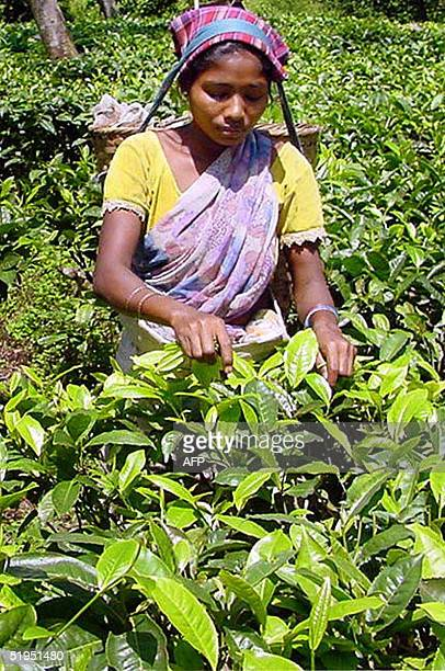 A woman works in a tea plantation some 30 kms from the capital of India's North Eastern state of Assam Guwahati 28 December 2002 At least 35 workers...