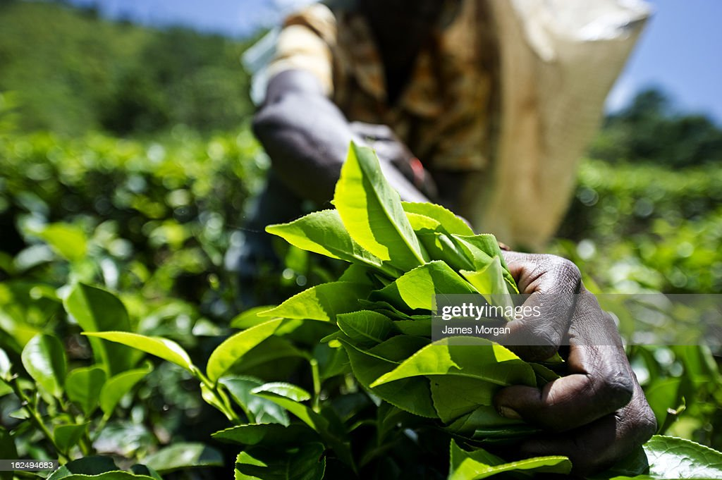 Woman's hand grasping leaves from tea plant : Stock Photo