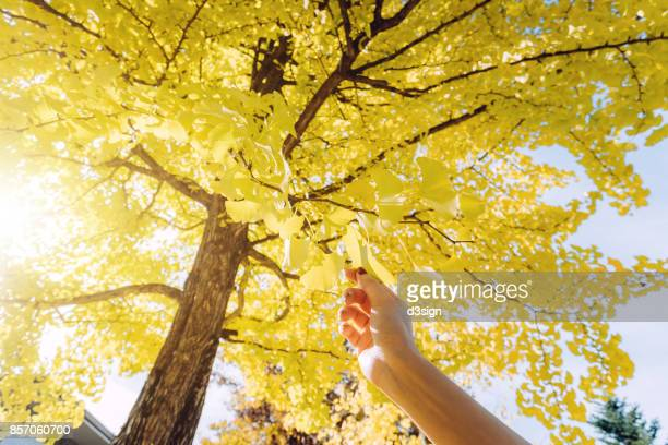 Woman's hand picking gingko leaf under the sunshine in the park