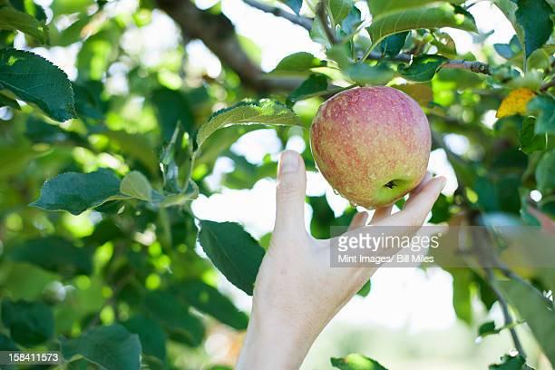 、女性の手になるには、新鮮なりんごを落とす