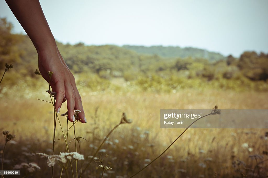 Woman's hand touching flowers, close-up. : Stock Photo