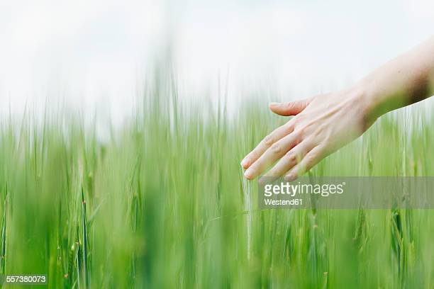 Womans hand touching green wheat ears