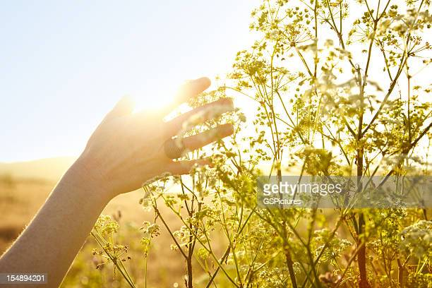 Woman's hand berühren Pflanze in der Natur
