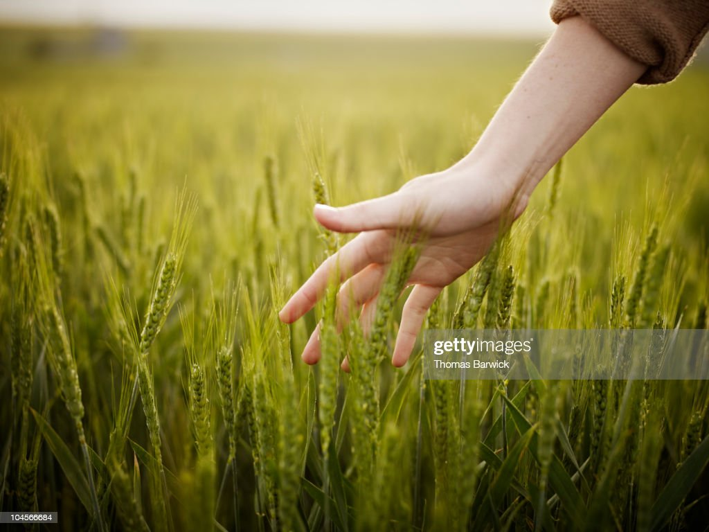 Woman's hand touching wheat in field : Stock Photo