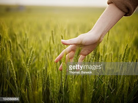 Woman's hand touching wheat in field