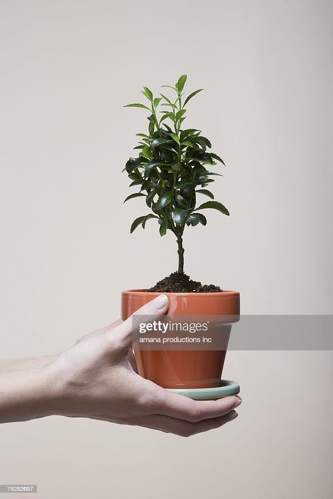 Woman's hands holding potted plant (close-up) : Stock Photo