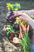 Womans hands holding wire basket with root vegetables