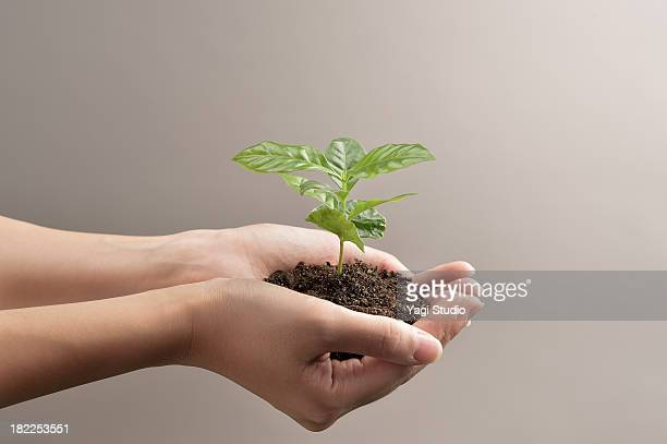 Woman's hands holds small green plant seedling