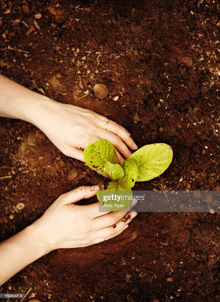 woman's hands planting lettuce in home garden : Stock Photo