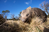 A wombat photographed in the wild - Tasmania