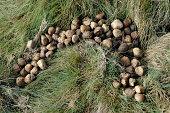 """Wombat Dung, Cradle Mountain Lake St Clair National Park,Tasmania, Australia,"""