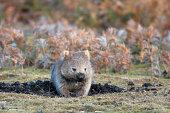 Wombat is wandering at Narawntapu national park in TasmaniaRelated images:
