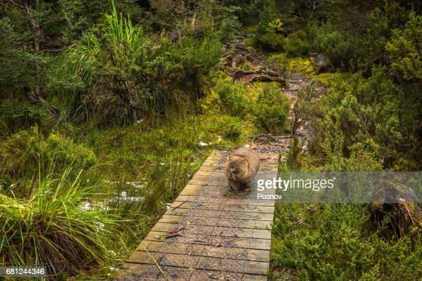 Wombat on the trail at Overland Track, Tasmania